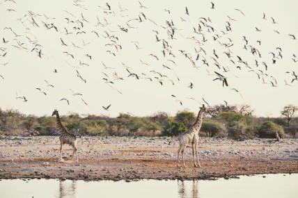 Jirafas en el abrevadero envueltas en vuelo de aves.